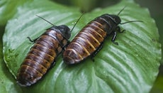 How Do Cockroaches Reproduce?