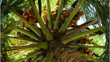 How Do Coconut Seeds Disperse?