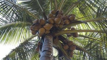 Where Do Coconuts Grow?