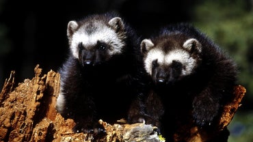 What Is the Difference Between a Badger and a Wolverine?