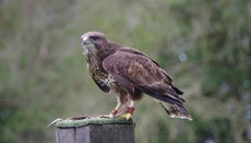 How Do You Compare a Buzzard Vs. a Vulture?