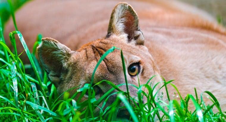 comparison-mountain-lion-versus-cougar