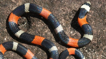 Where Do Coral Snakes Live?