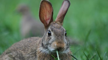 What Do Cottontail Rabbits Eat?