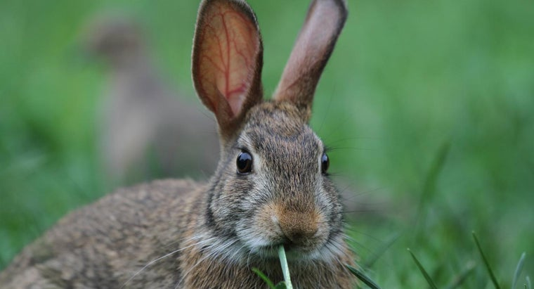cottontail-rabbits-eat
