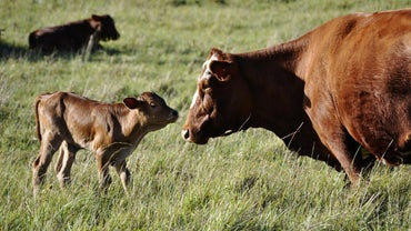 How Do Cows Reproduce?