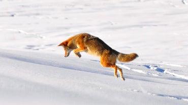 Where Do Coyotes Live?