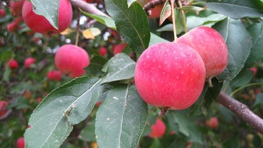 Are Crabapples Edible?