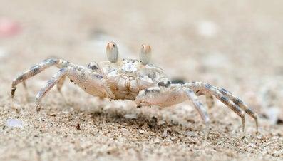 Do Crabs Lay Eggs?