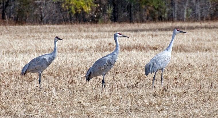 cranes-live