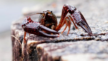 Why Do Crayfish Molt?
