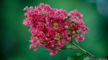 When Do Crepe Myrtles Bloom?