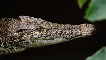 How Do Crocodiles Adapt to Their Environment?