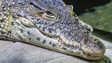 What Do Crocodiles Eat?