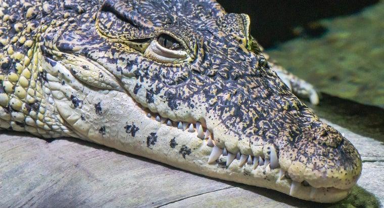 crocodiles-eat
