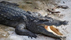 Do Crocodiles Lay Eggs?