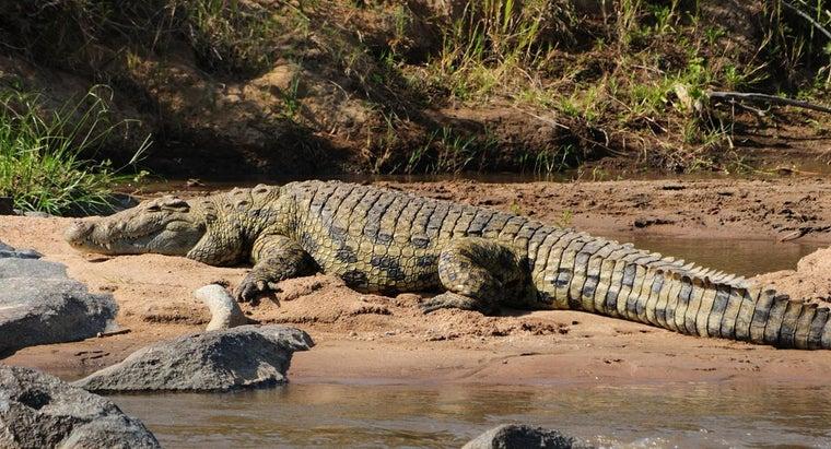 crocodiles-live