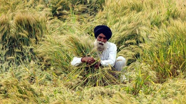 Which Crops Are Grown in India?
