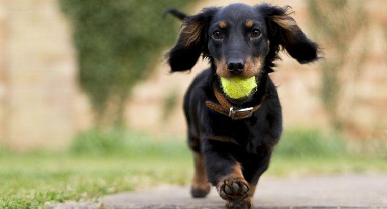 dachshund-breeders
