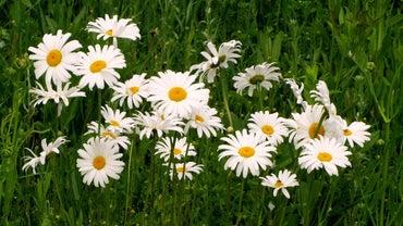 When Do Daisies Bloom?