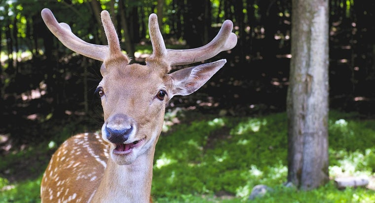deer-upper-teeth