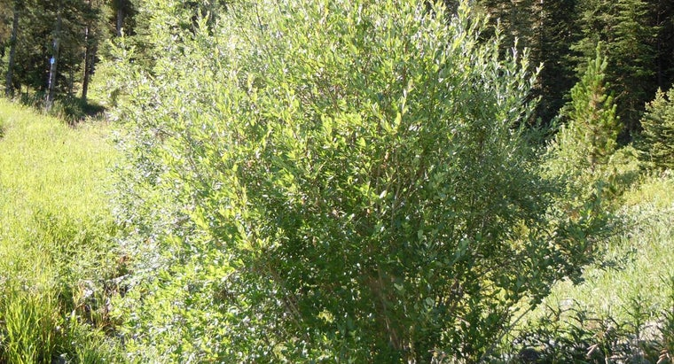 diamond-willow-trees-grow