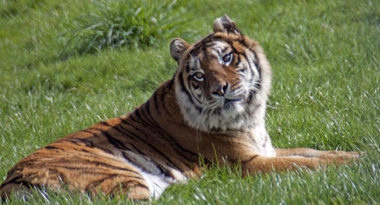 did-bengal-tiger-its-name