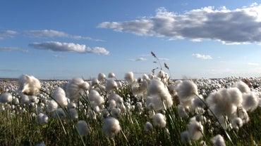 Where Did Cotton Originate From?