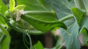 Why Did Gregor Mendel Use Pea Plants in His Research?