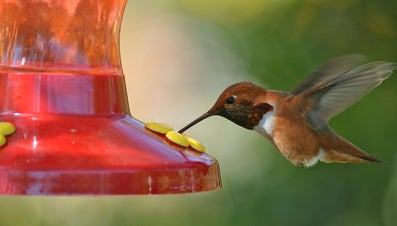 What Is the Diet of a Hummingbird?