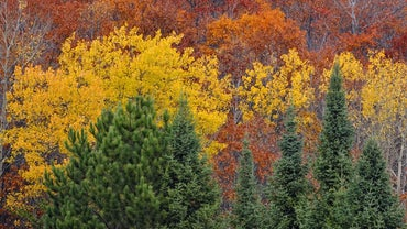 What Is the Difference Between an Aspen and a Birch Tree?