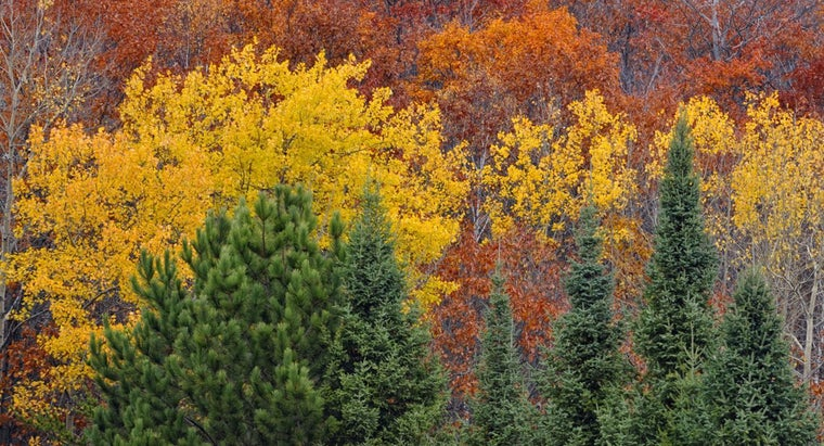 difference-between-aspen-birch-tree