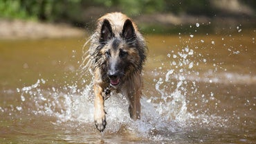 What Is the Difference Between a Belgian Malinois and a German Shepherd?