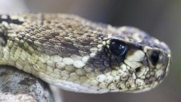 What Is the Difference Between a Cobra Vs. a Rattlesnake?