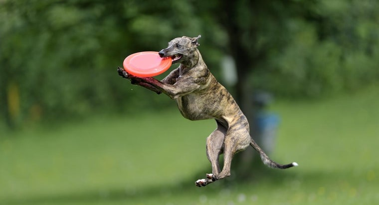 difference-between-italian-greyhounds-whippets