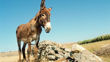 What Is the Difference Between a Mule and an Ass?