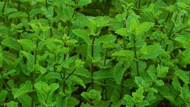 What Is the Difference Between Spearmint and Peppermint?