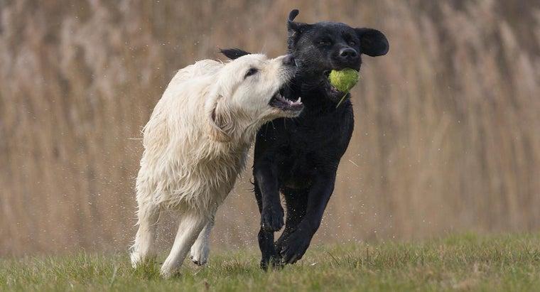 difference-labrador-vs-golden-retriever