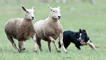 What Are the Different Breeds of Sheepdogs?