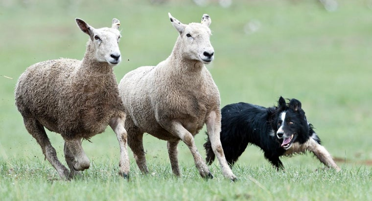 different-breeds-sheepdogs