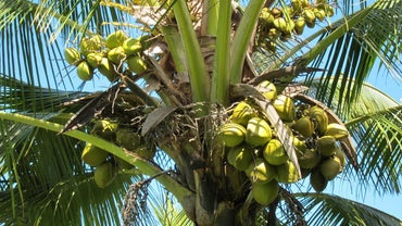 What Are the Different Types of Coconuts?