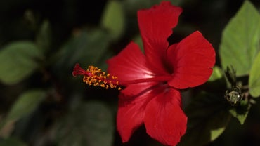 What Are the Different Types of Hibiscus Plant?