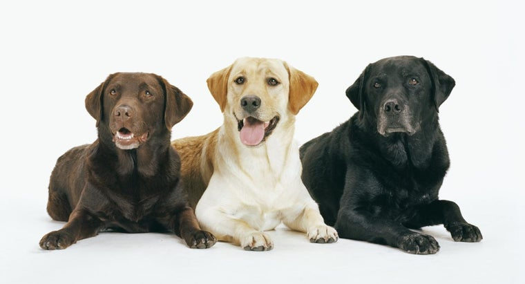 different-types-labrador-retrievers