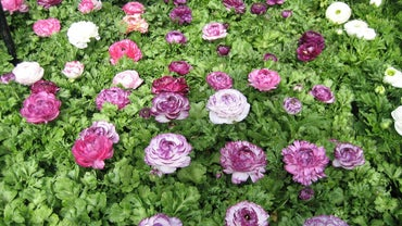 In What Direction Should You Plant Ranunculus Bulbs?