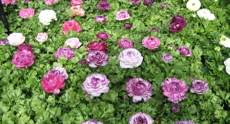 direction-should-plant-ranunculus-bulbs