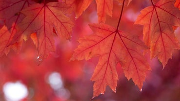 What Diseases Can Infect a Maple Tree?
