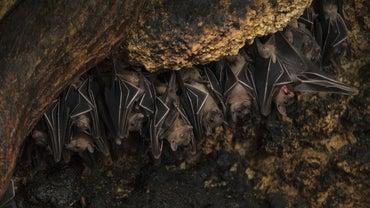 Do Bats Hibernate and Migrate?