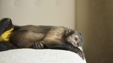 Do Capuchin Monkeys Make Good Pets?
