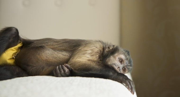 capuchin-monkeys-make-good-pets