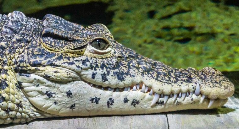 crocodiles-ears